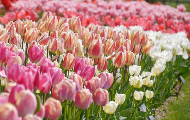 ピンクと白が主なチューリップ畑
